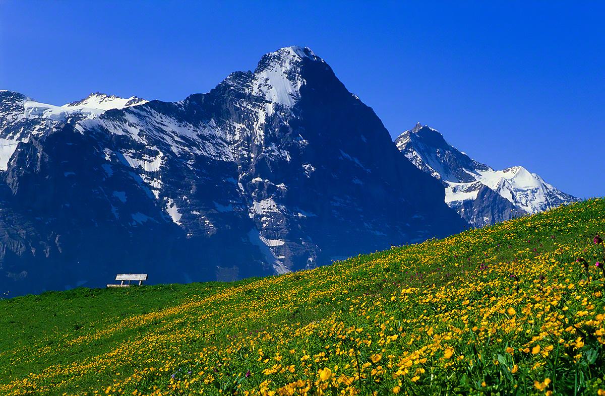 アイガーと黄色い花の丘のベンチ