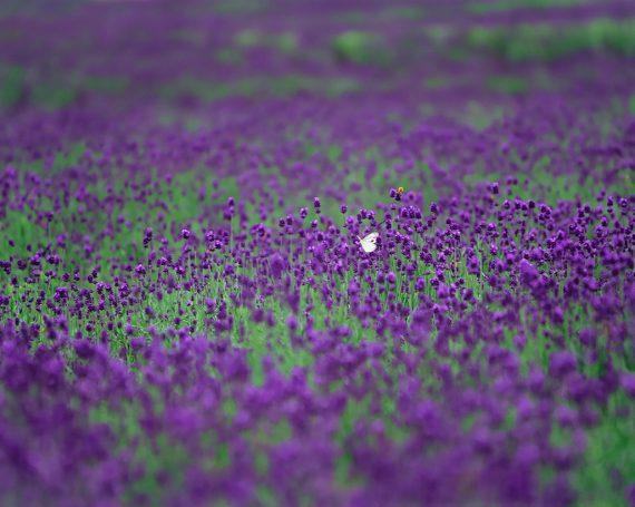 ラベンダー畑の中のモンシロチョウ