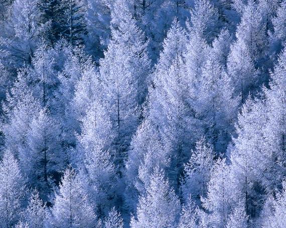 一面に並ぶカラマツの樹氷林