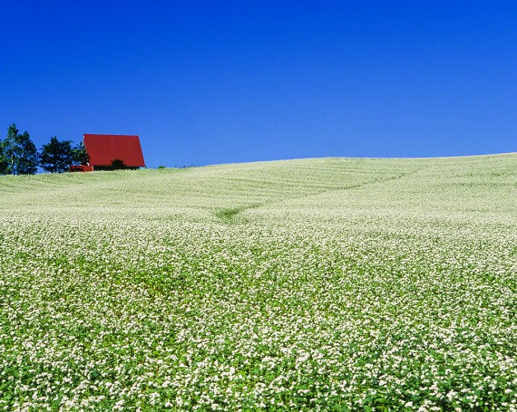 一面のソバの花畑の丘と赤い家