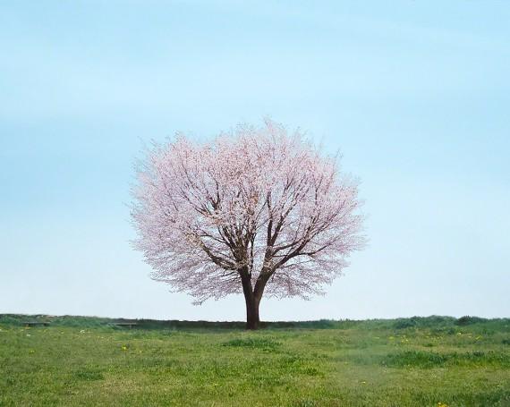 丘の上の一本の桜の木