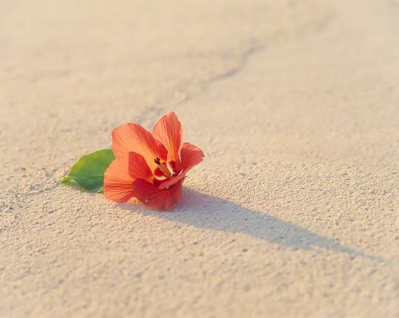 夕日の当たる砂浜のハイビスカス
