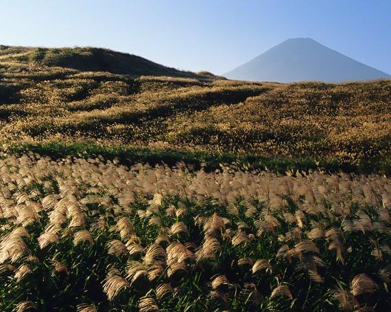 富士山と一面の輝くススキの原