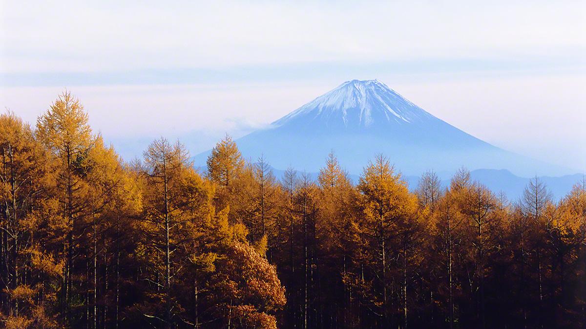 富士山と黄葉のカラマツ林