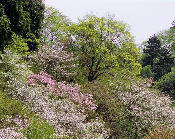 山桜の中の新緑の木