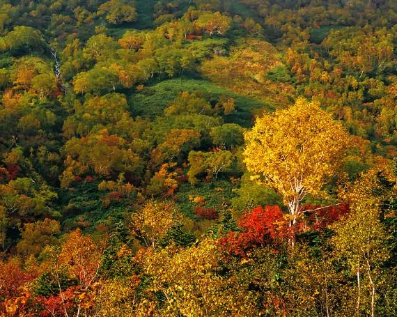 山腹の紅葉と滝と黄金色に輝くダケカンバ