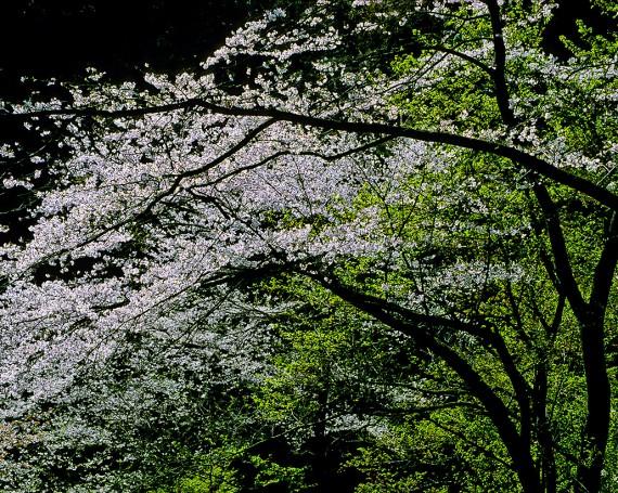 山陰で輝く山桜の花と新緑の若葉