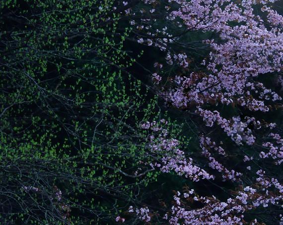 山陰の中の山桜と新芽