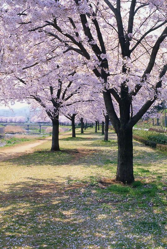 川沿いの桜並木と落ちた花びら