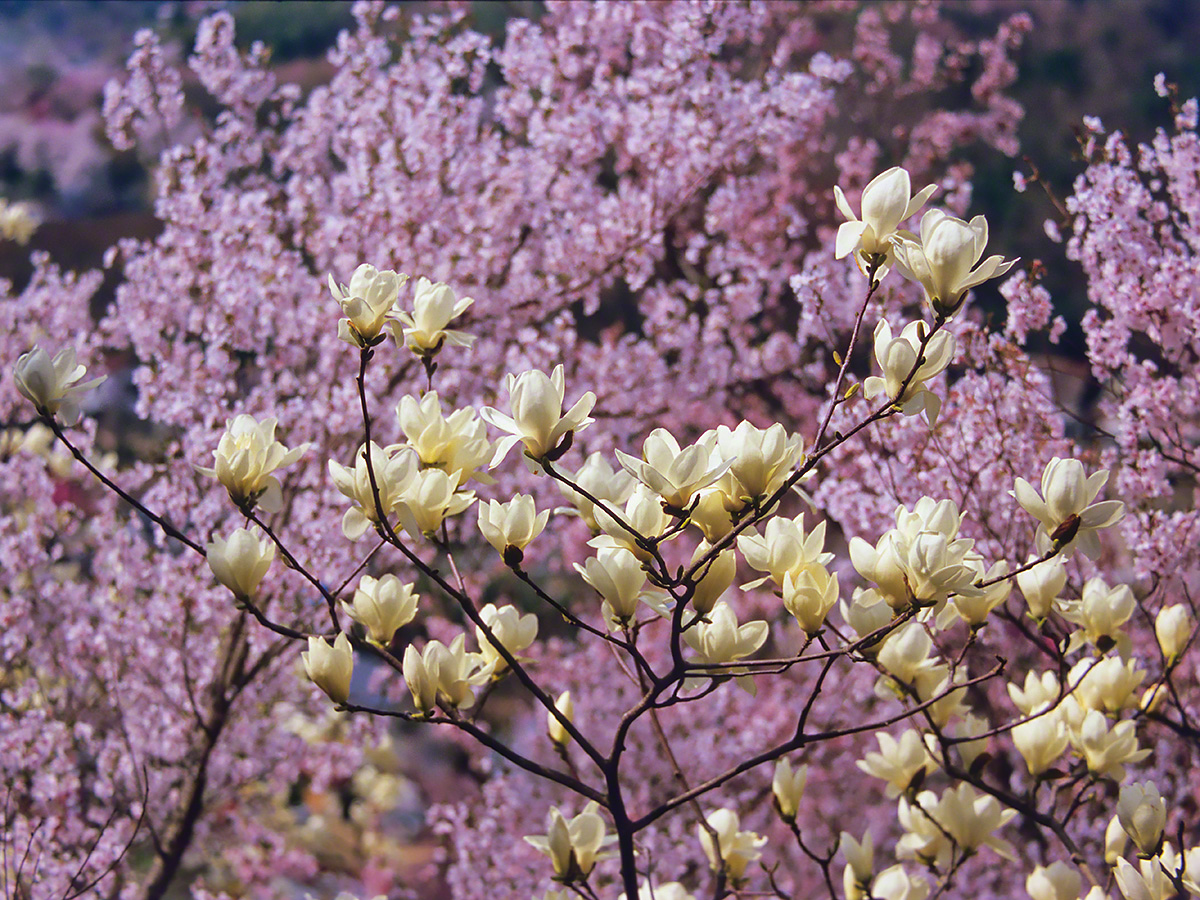 彼岸桜の中のハクモクレン
