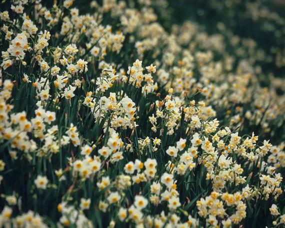 斜面一面に咲いた水仙の花