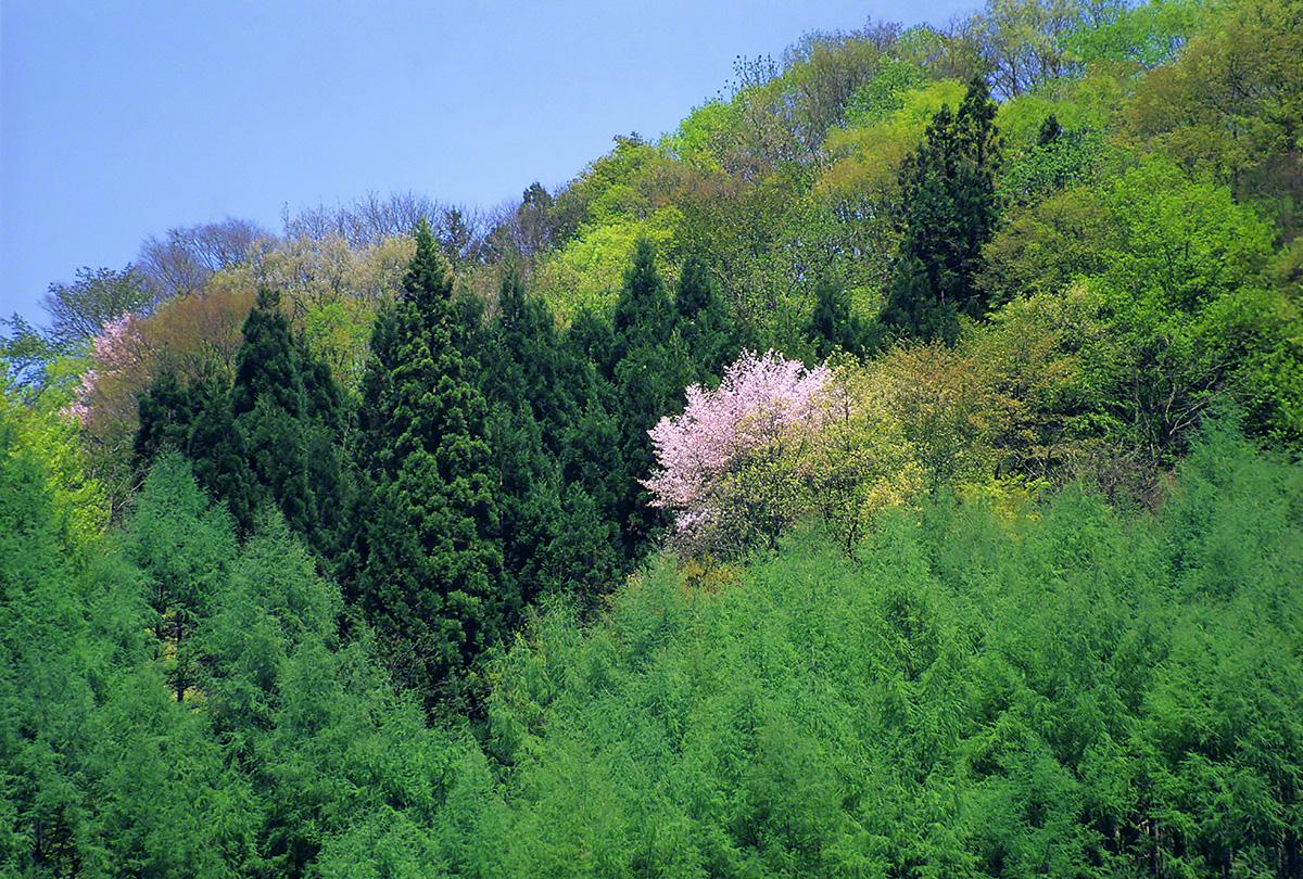 新緑の中に咲く一本の山桜