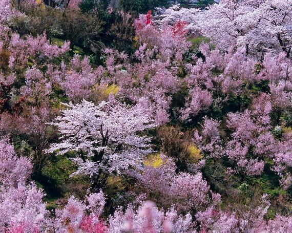 春の花木に囲まれたソメイヨシノ