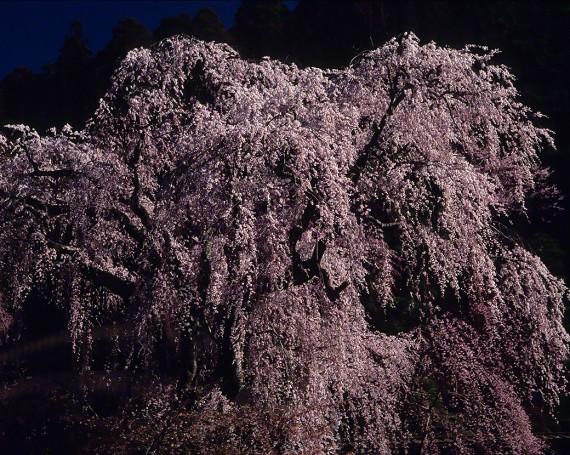 朝日の当たる身延山久遠寺のしだれ桜