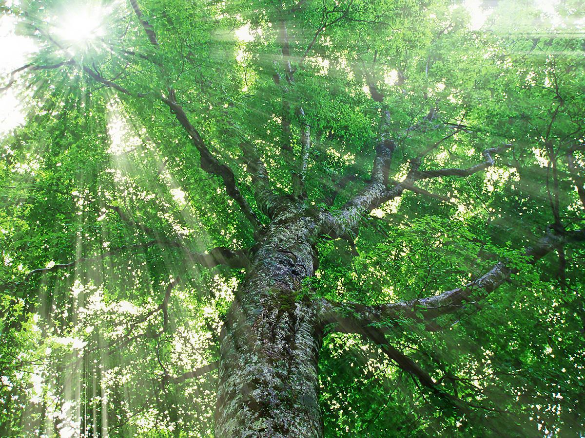 木漏れ日と白神山地の新緑のブナのマザーツリー