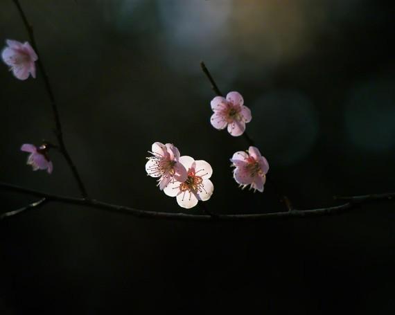 木陰で斜光が当たる薄桃色の梅の花