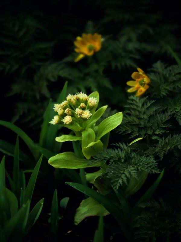 木陰のフキノウトウと福寿草