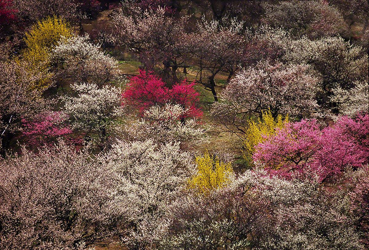 梅園の紅白梅とレンギョウ