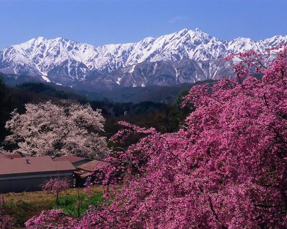残雪の北アルプスと立屋の桜と番所の桜