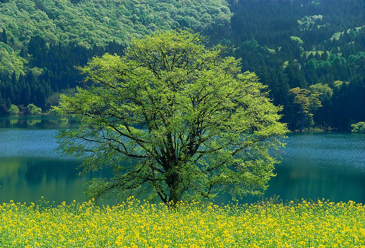 湖畔の菜の花畑と新緑の木