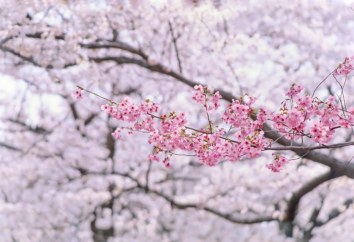 Scenery Photo 桜 風景写真素材 壁紙の無料ダウンロード