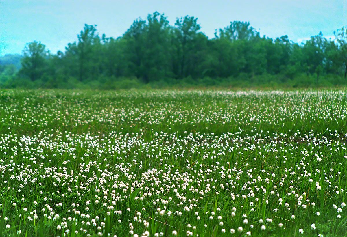 緑の中の一面のワタスゲ