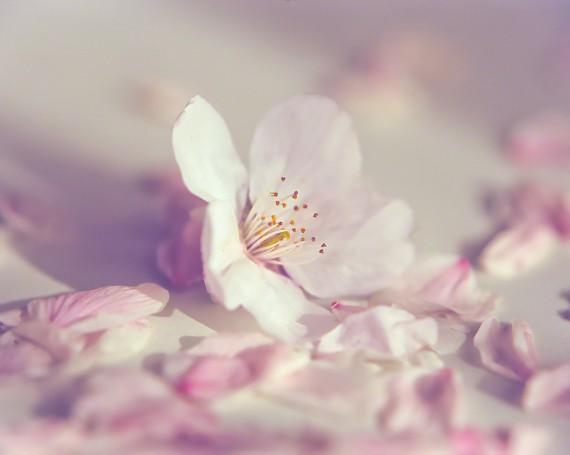落ちた桜の花と花びら
