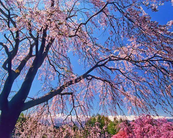 見上げるしだれ桜と残雪の北アルプス