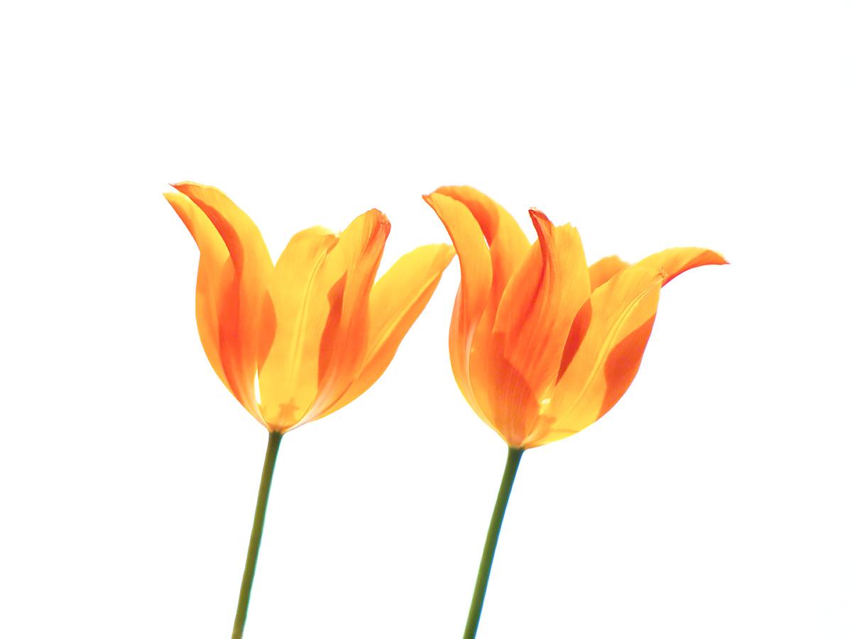 透けるオレンジ色のチューリップ