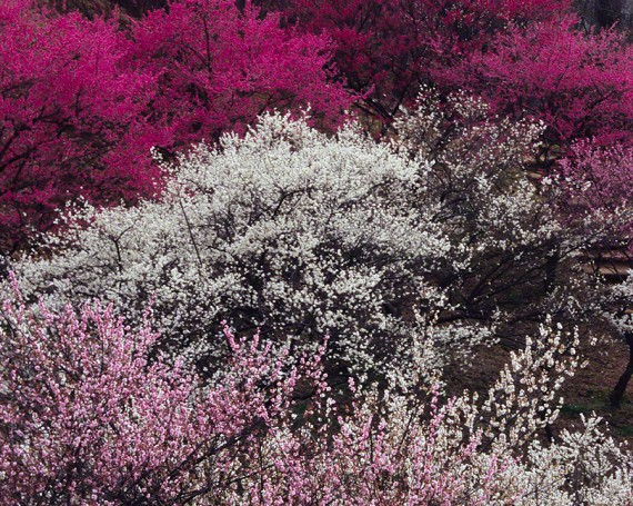 連なる紅白桃色の梅の木
