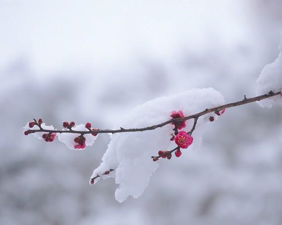 雪を乗せた一枝の紅梅