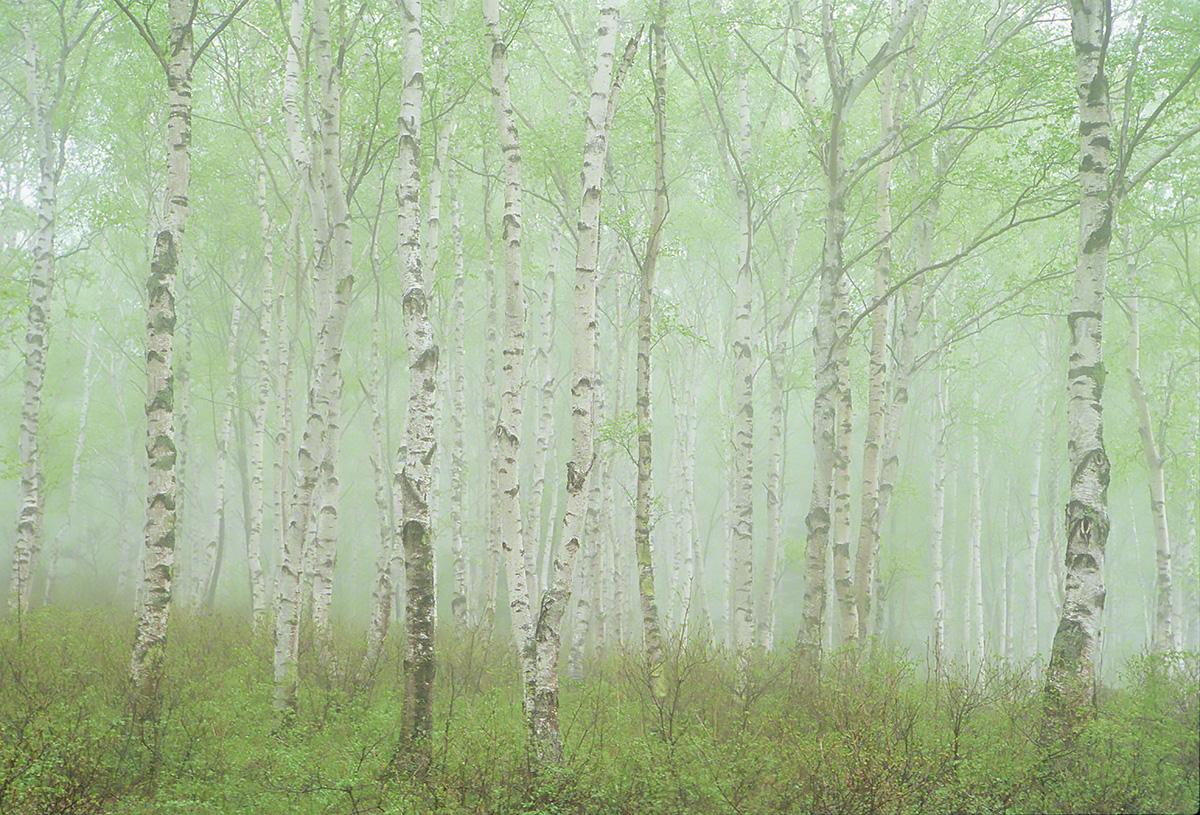 霧の中の新緑の白樺林