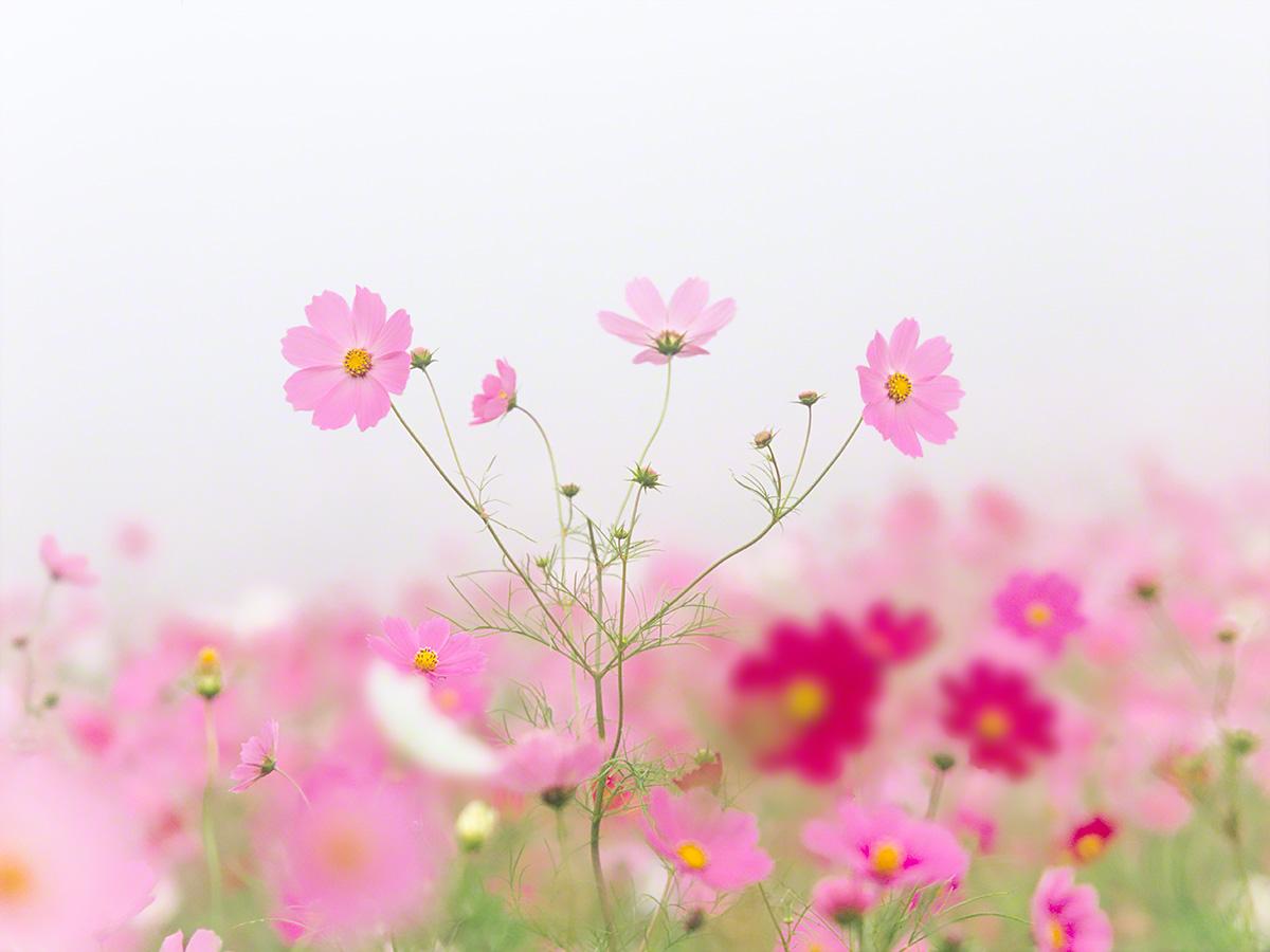 霧空のピンク色のコスモス
