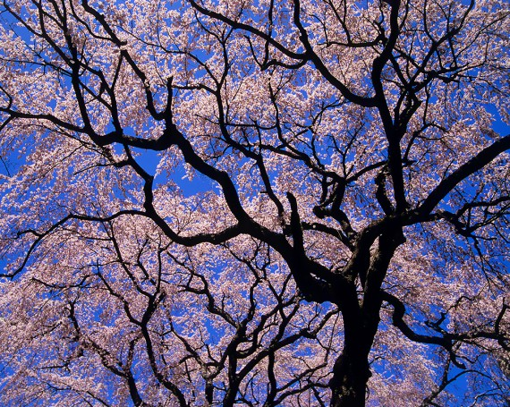 青空と一面の桜と黒い幹