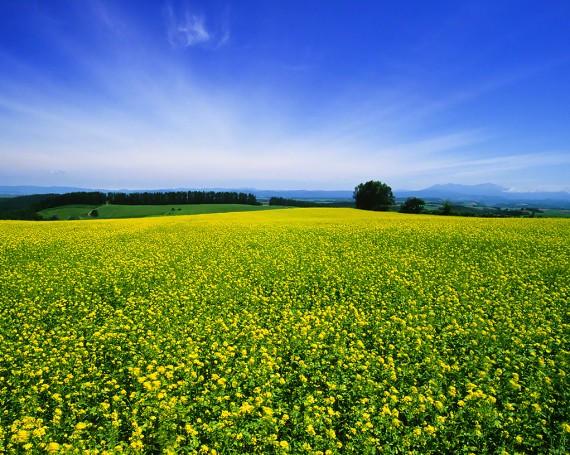 青空と地平線に広がる菜の花畑