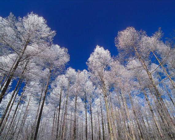 青空と見上げるカラマツの樹氷