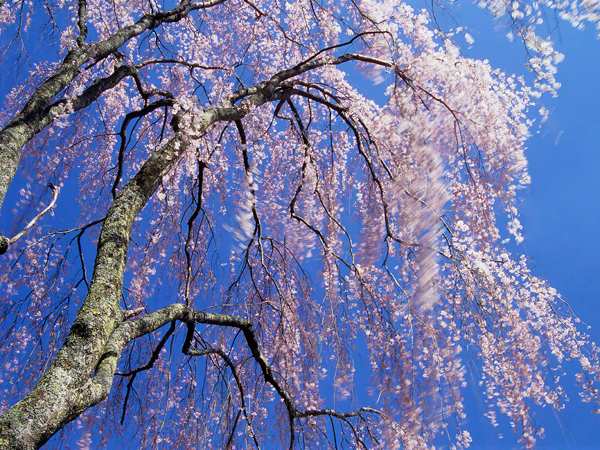 青空と風に揺れるしだれ桜