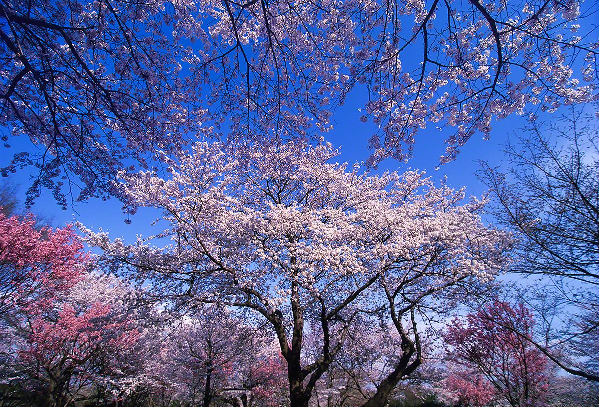 青空を埋める桜の公園