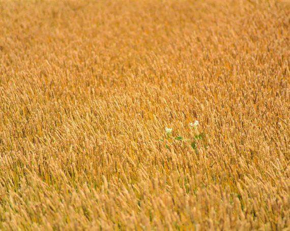 麦畑の中の白い花