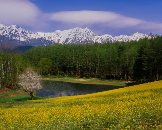 菜の花畑と一本の山桜と残雪の北アルプスを映す池