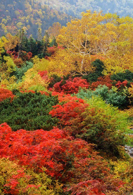 紅葉のナナカマドとダケカンバ