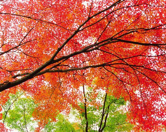 空を埋める赤と緑のもみじ