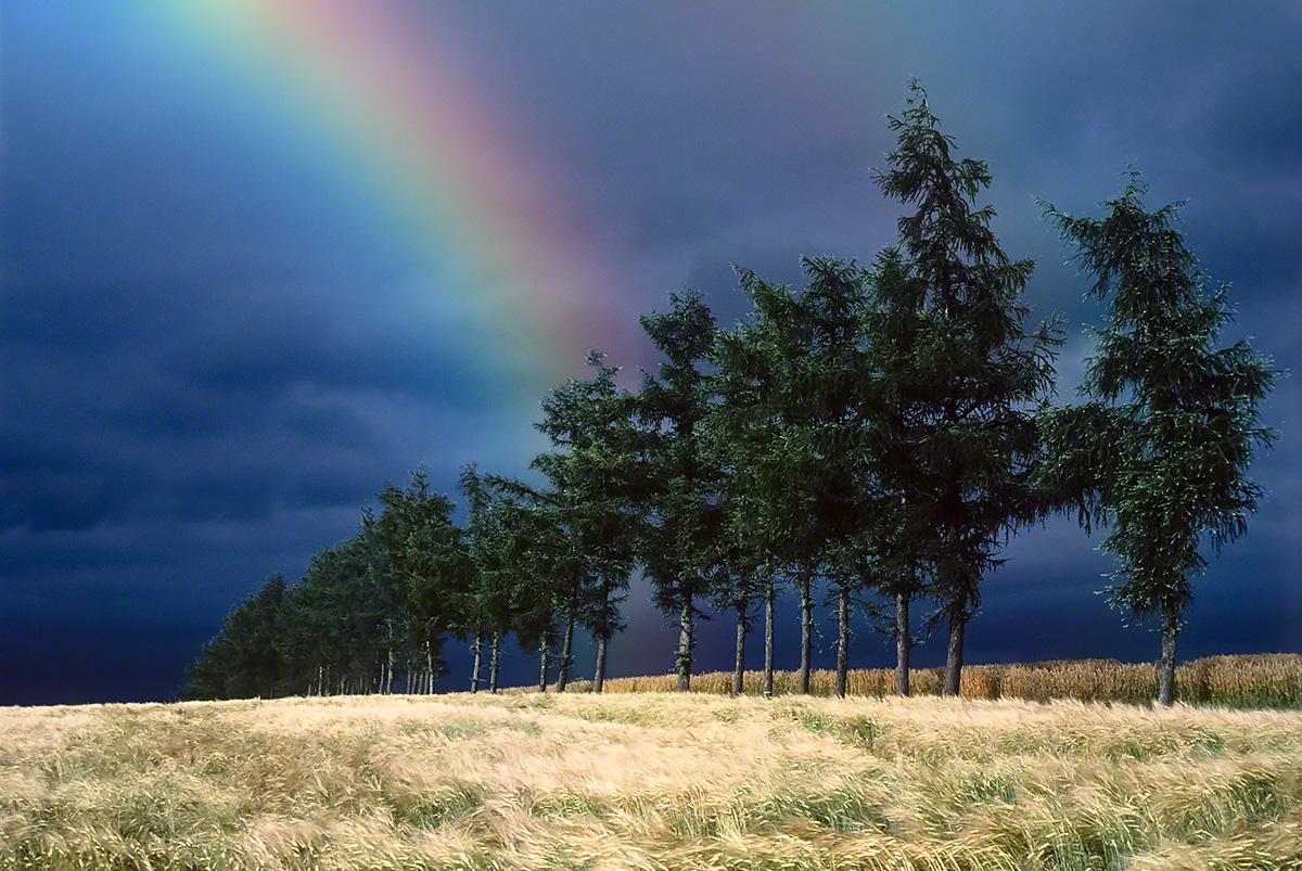 曇天の麦畑とカラマツ並木と虹