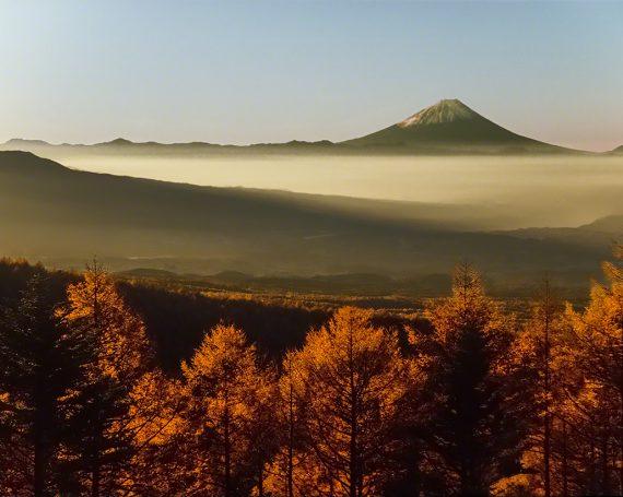 朝日の当たる富士山と輝くカラマツ